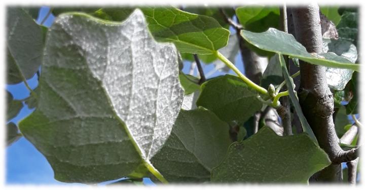 Populus Alba(Pyramidalis).jpg