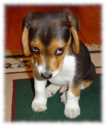 Shame Beagle