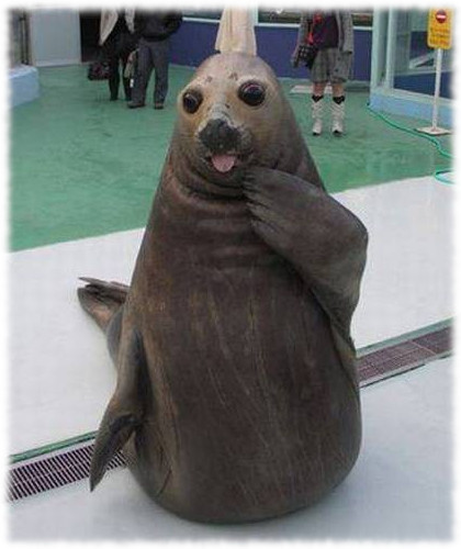 Funny seal gasps